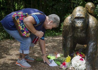 慢速西语:为救小孩 动物园被迫射杀珍稀大猩猩